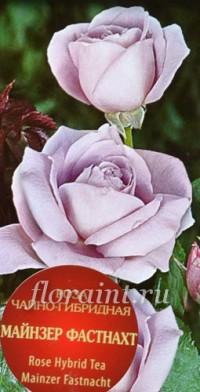 Чайно-гибридные сорта - роза дуэт