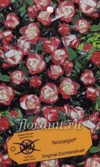 Саженцы: Роза чайно-гибридная Ностальжи (Топалович)