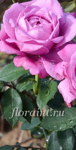 Купить розы флорибунда саженцы