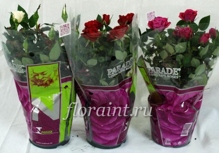 Уход за розой в горшке зимой