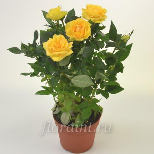 Роза декоративная комнатная уход